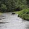 Später hat der Grizzly mehr Glück und trägt den Lachs zum Verzehren ans Ufer.