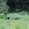 Ein Schwarzbär ..