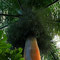 Die Königspalme, Nationalpflanze Kubas.