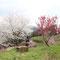 ここからは3月24日撮影の写真です。桜満開。