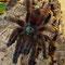 0.1 Avicularia versicolor