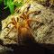 0.1 Pterinochilus murinus rcf