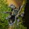 0.1 Euathlus truculentus