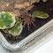 0.0.1 Acanthoscurria geniculata