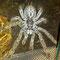 0.1 Heteroscodra maculata