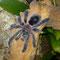 0.1 Avicularia diversipes