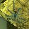 0.1 Avicularia geroldi