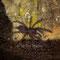 0.0.1 Lampropelma sp. Borneo black, Sling in der 3.FH