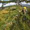苗木に用いるアカエゾマツ種子の採集