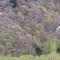 早春の山に咲くキタコブシ(自生の北限)とエゾヤマザクラ