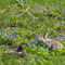 エゾエンゴサクを食べるエゾユキウサギ