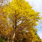 秋に甘い香りを放つカツラ(自生の北限)