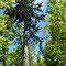 彫刻家(故)砂澤ビッキ氏が愛したアカエゾマツ「ビッキの木」