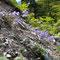 蛇紋岩地帯に咲くエゾミヤマクワガタ