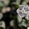 Silene succulenta subsp. corsica - Corse - Avril 2010