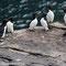 Tordalken - Vogelinsel Handa - Schottland 2015