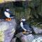 Papageientaucher - Vogelinsel Handa - Schottland 2015