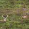Hirsche Nähe Kylesku - Schottland 2015