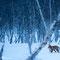Polarfuchs in finnisch Lappland
