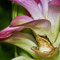 Der goldene Frosch, cc-by-sa-4.0, Jeevan Jose