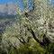 Baumblüte nähe Fornalutx mit Blick auf Puig de sa Bassa