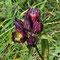 Gentiana-purpurea