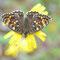 Berchtsgardener Land, Bayern 30.06.2012, Melitaea phoebe