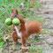 AUGUST 2014 / Eichhörnchen (Sciurus vulgaris)