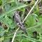 Helmershausen, Thüringen 09.07.2011, Psophus stridilus (Rotflüglige Schnarrschrecke)