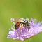 Trampe, Brandenburg 17.06.2015, Knautien-Sandbiene, Andrena hattorfiana