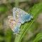 Rehnsdorf, Brandenburg 15.05.2015, Polyommatus icarus