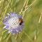 Kyffhäuser, Thüringen 03.07.2014, Knautien-Sandbiene, Andrena hattorfiana