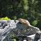 Berchtesgardener Land, Bayern 13.06.2013, Alpenmurmeltier
