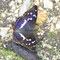 Beuron, B-W 07.07.2011, Apaturia iris