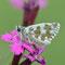 Pottenstein, Bayern 13.06.2011, Pyrgus alveus-trebevicensis