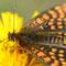 Müncheroda, Sachsen-Anhalt 09.06.2012, Melitaea aurelia