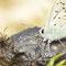 Hayingen, B-W 06.07.2011, Polyommatus coridon