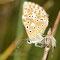 Oberbergen, B-W 20.08.2013, Polyommatus coridon