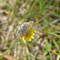 Berchtesgardener Land, Bayern 12.06.2013, Pyrgus andromedae