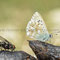 Hayingen, B-W 06.07.2011, Polyommatus corido