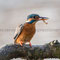 MÄRZ 2015 / Eisvogel (Alcedo atthis)