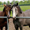 Ponyhengstjährlinge