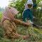 Die Reiskörner werden an Ort und Stelle von den Frauen abgeschlagen.