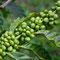 Auf dieser Farm wird auch Kaffee angebaut.