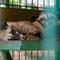 Endlich sehen wir mal die berühmte Luwak Katze. Leider in Gefangenschaft.