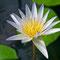 Eine wunderschöne Lotusblume.