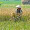 Unterwegs wieder ein bisschen Reis. Hier ist Reisernte angesagt.