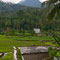 mmer noch unterwegs Richtung Malang. Per Zufall haben wir ein Reisfeld entdeckt. ; -)