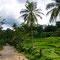 Irgendwo unterwegs Richtung Malang. Überall Reis und Palmen.