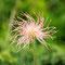 Alpen-Anemone (Verblüht)